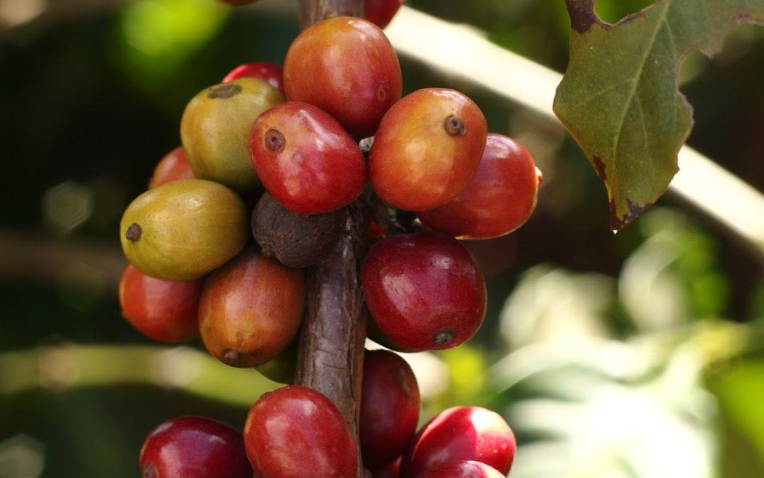 Káva Mokaflor – vůně achuť toskánské tradice